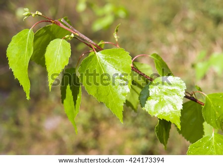 yellow, green, nature, young, beautiful, tree, park, spring, sunny, grass, fresh, light,  plant, leaves, bright, beauty, outdoor, natural, lush, forest, foliage, group, wild, wood, branch,birch  - stock photo