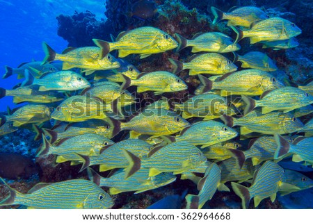 Yellow grunts school under water. A bunch of fishes near a coral reef patch stay together. - stock photo