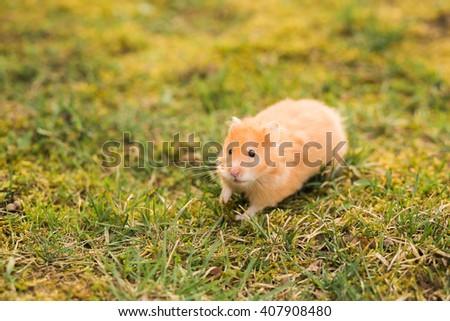 Yellow hamster looking at camera - stock photo