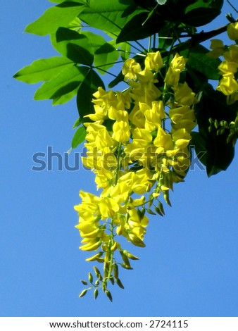 Yellow hanging flowers green leaves stock photo download now yellow hanging flowers and green leaves mightylinksfo