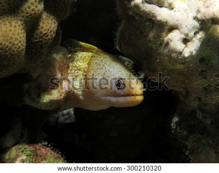 Yellow head moray in a reef crevice - stock photo