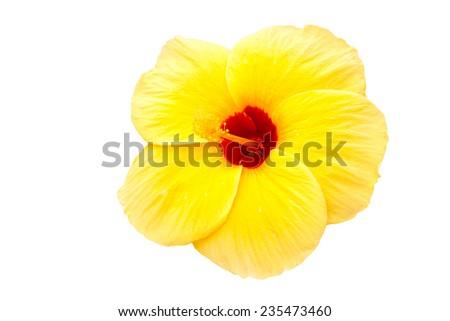 Yellow Hibiscus flower isolate on white background - stock photo