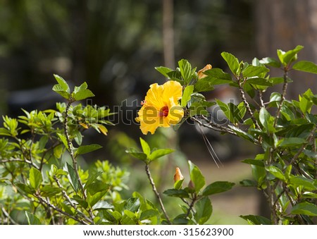 Yellow hibiscus flowers. Close up of blooming hibiscus flower on a garden in nature.  - stock photo