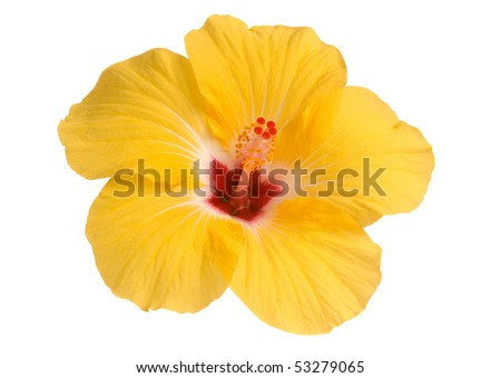 yellow hibiscus isolated on white - stock photo