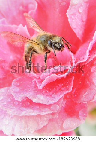Yellow Honey Bee on a Pink Flower - stock photo