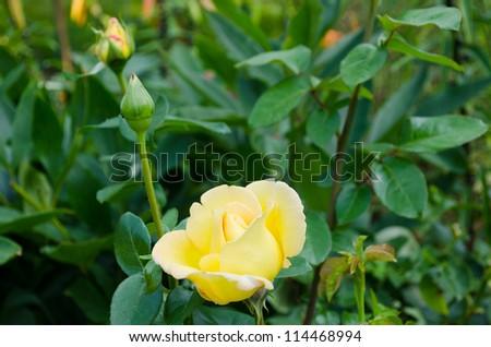 yellow hybrid garden rose flower bloom and bud. - stock photo