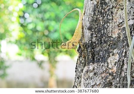 yellow iguana, tree lizard, chameleon, colorful reptile - stock photo