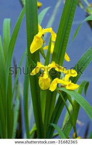 yellow iris - stock photo