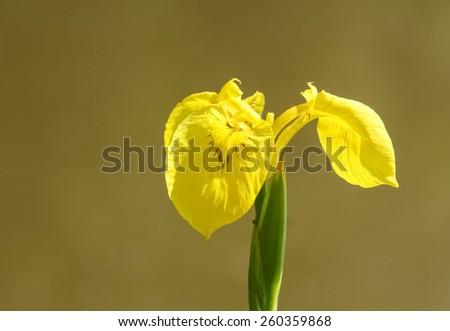 Yellow iris (Iris pseudacorus) - stock photo