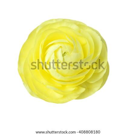 Yellow isolated flower on white background - stock photo