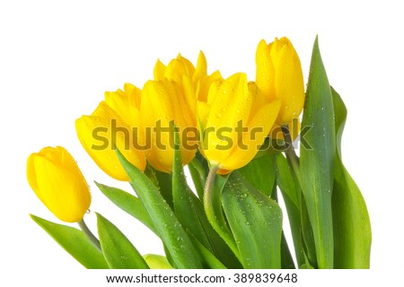Yellow isolated tulips with green leaves, white background