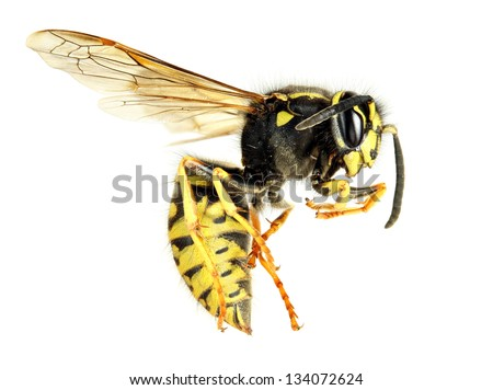 yellow jacket wasp - stock photo