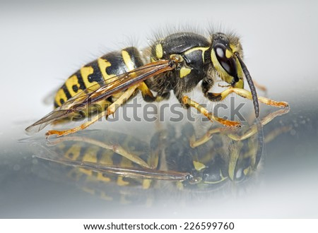 Yellow Jacket Wasp and Reflection - stock photo