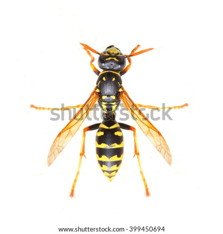 Yellow Jacket Wasp is a poisonous pest on garden. It is bold and aggressive, and can sting repeatedly and painfully if provoked. Insect on white background. Close up with shallow DOF.  - stock photo