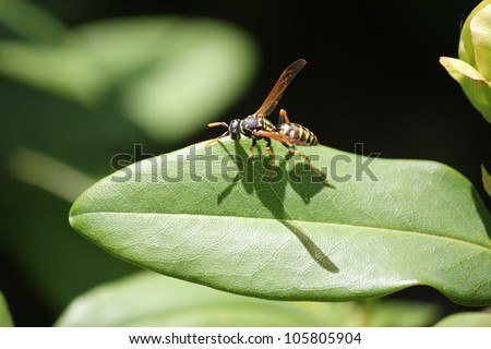 Yellow jacket wasp on a leaf in full sun with its shadow below it.  Close up shot. Vespidae Vespula