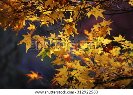 Yellow Japanese maple leaves - stock photo