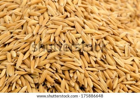 yellow jasmin ripe rice  - stock photo