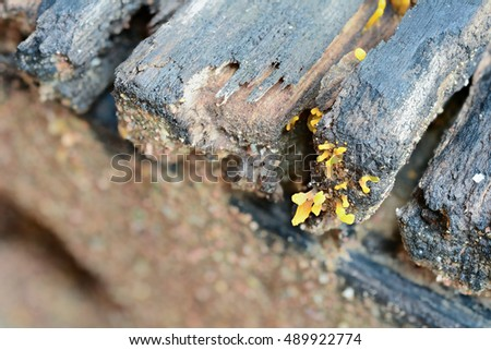 Yellow jelly fungus grows on decaying wood