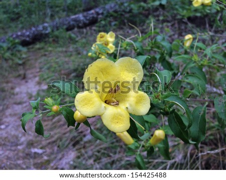 Yellow jessamine in LaBarque Creek, Missouri - stock photo