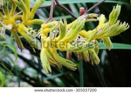 Yellow Kangaroo Paw (Australian Wildflower - Anigozanthos pulcherrimus), yellow flower - stock photo