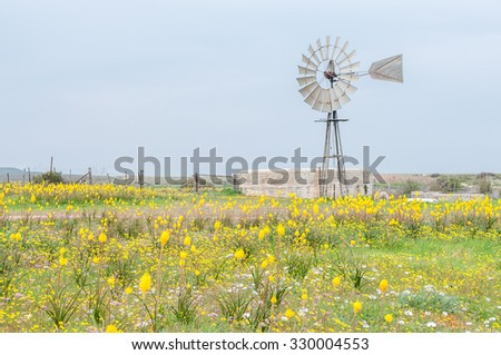 Yellow Kastert (cats tail), Bulbinella nutans, and a windmill with dam at Matjiesfontein farm near Nieuwoudtville