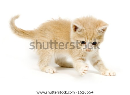 Yellow kitten pawing at a toy on a white background - stock photo