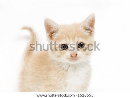 Yellow kitten standing on a white background and looking at the camera