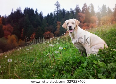 yellow lab in autumn - stock photo
