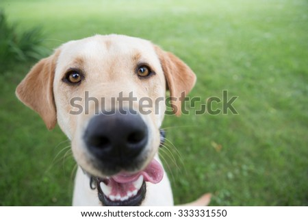 Yellow Lab looking at the camera  - stock photo