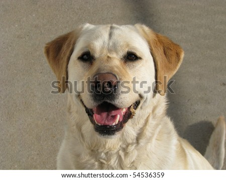 Yellow Lab Looking Happy