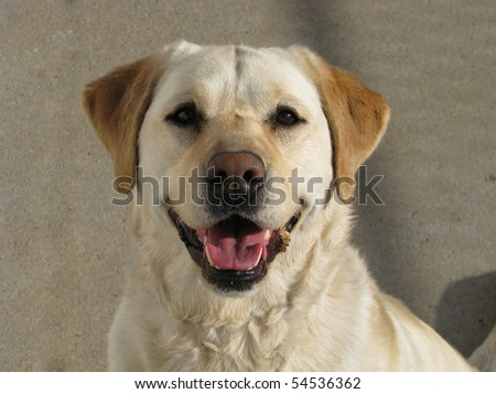 Yellow Lab Looking Happy 2