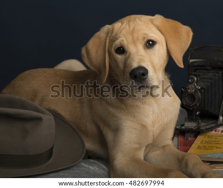 Yellow lab puppy with a fedora hat