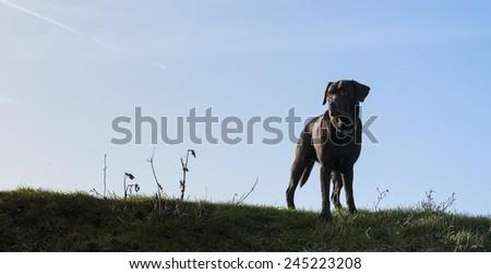 yellow labrador - stock photo