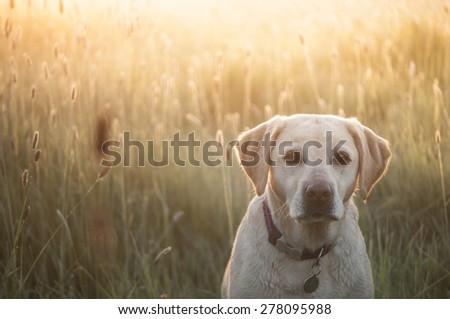 yellow Labrador, backlit by sunrise - stock photo