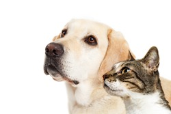Free cats and dogs stock photos stockvault yellow labrador dog and cat together over white looking to side with room for text voltagebd Gallery
