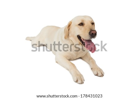 Yellow labrador dog lying on white background