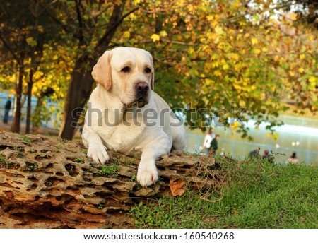 yellow labrador in the park in autumn - stock photo
