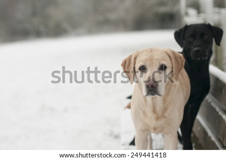 yellow labrador in the snow - stock photo