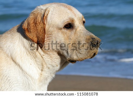 yellow labrador looking at the sea in summer - stock photo
