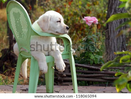yellow labrador puppy in the garden sitting on an old green chair - stock photo