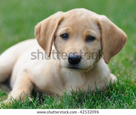 Yellow labrador puppy on lawn