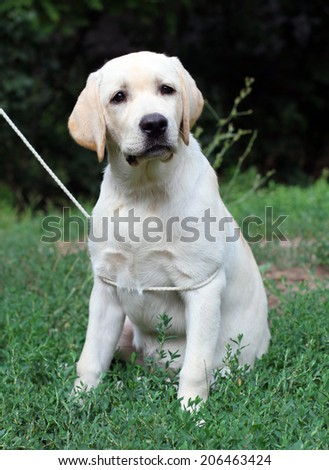 yellow labrador puppy sitting close up in the grass - stock photo