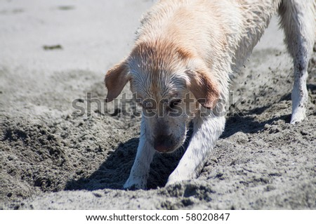 Yellow Labrador Retriever digging in the sand at a beach on a sunny day.