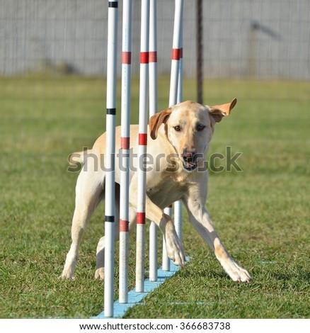 Yellow Labrador Retriever Doing Weave Poles at Dog Agility Trial - stock photo
