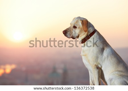 Yellow labrador retriever is looking at the sunrise - stock photo