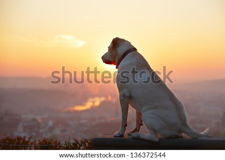Yellow labrador retriever is looking at the sunrise - back lit - stock photo