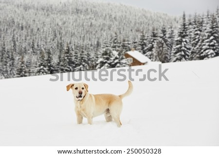 Yellow labrador retriever is playing in wintry landscape - stock photo