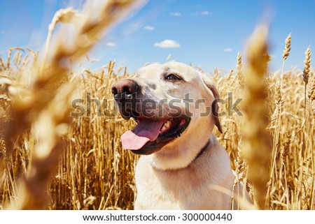 Yellow labrador retriever is waiting in cornfield - stock photo