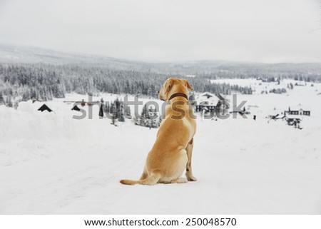 Yellow labrador retriever is waiting in wintry landscape - stock photo