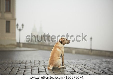 Yellow labrador retriever is waiting on the street - stock photo
